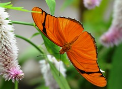 5755ex2  Julia butterfly (jjjj56cp) Tags: orange closeup colorful julia bright edenpark details ngc vivid npc mariposa schmetterling krohnconservatory farfalle brushfooted juliabutterfly longwing longwingbutterfly brushfootedbutterfly butterfliesofthephillipines