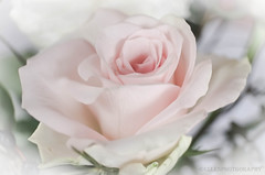 softness (Fay2603) Tags: flowers light white nature rose blossom softness rosa tender rose