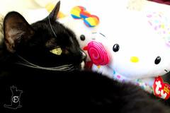 FresCO's Kitties-6 (Fresco Arts Team) Tags: hello cats cute lady cat fun feline kitty tuxedo kitteh aww beaniebaby toocute
