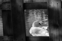 park life (vuralyavas) Tags: park city blackandwhite bw white black water animal fence blackwhite duck dof citylife istanbul bnw roster