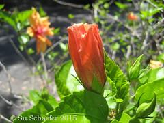 Orange hibiscus flower bud and blossom (Su_G) Tags: summer orange nature closeup australia hibiscus sug orangehibiscus orangehibiscusflower orangehibiscusbud