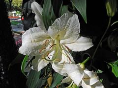 Lilium sp. Hybrid Liliaceae Lilioideae Lilieae-Asiatic lily,  (SierraSunrise) Tags: flowers white flower festival thailand chiangrai liliaceae ornamentals lilioideae lilieae