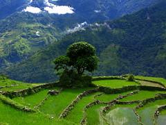 In the Annapurnas (Py All) Tags: nepal mountain tree green nature field montagne trekking trek outside asia rice vert asie himalaya ricefield pokhara extrieur arbre annapurna npal randonne ghandruk rizire