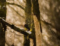 Schwarzspecht / Black Woodpecker (Dryocopus martius) (Nature_77) Tags: bird animal de deutschland aves 100v10f wald bäume vogel rheinlandpfalz pirmasens eichen forst blackwoodpecker dryocopusmartius piciformes picidae totholz picinae schwarzspecht spechtvögel echtespechte