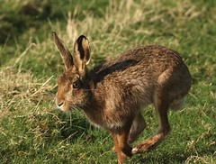 Brown Hare moving slowly (pauldunn52) Tags: brown heritage wales coast hare running vale glamorgan