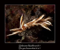 Unknown      4149ff (~Tavistock~) Tags: bali nudibranch 2008