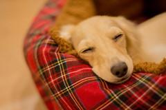 IMG_3327 (yukichinoko) Tags: dog dachshund 犬 kinako ダックスフント ダックスフンド きなこ