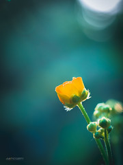 (N.H. || Photography) Tags: flowers blue light sunset summer sun macro green nature yellow closeup spring soft 10 olympus 60mm em makro f28 omd em10 mzuiko