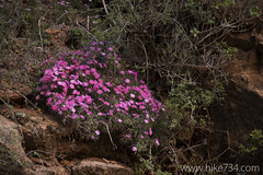 "Desert Phlox • <a style=""font-size:0.8em;"" href=""http://www.flickr.com/photos/63501323@N07/24412761720/"" target=""_blank"">View on Flickr</a>"