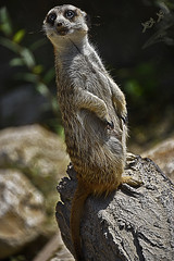 mongoose 1 (محمد بوحمد بومهدي) Tags: travel animal animals zoo nikon natur mongoose محمد حيوانات سفر طبيعة الحيوانات herpestidae حديقة نيكون الحيوان بوحمد النمس ترحال