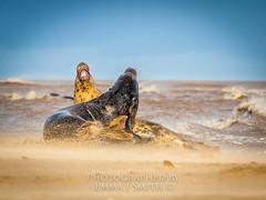 Entwined (emmadavidso) Tags: surf waves wind teeth lincolnshire sandbank sandybeach greyseal matingritual donnanook rafdonnanook