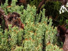 Cladonia squamosa (chaerea) Tags: canada nature forest woodland bc fungi lichen mycology cladonia