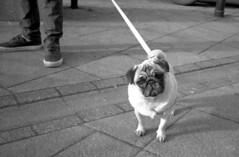 Street Pug (Trojan_Llama) Tags: street dog film 35mm t kodak tmax pug 400 scannedfilm yahicat2