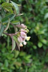 Caamembeca spectabilis var. spectabilis (DC.) J.F.B.Pastore (alrcardoso) Tags: flower flor polygala polygalaceae angiosperms caamembecaspectabilis caamembeca