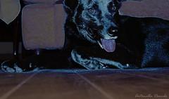 Suu Blue (T o r n a s o l a r ☀) Tags: chile blue dog chien pet love cão dogs cane azul puppy nikon hond hund latinoamerica perros bestfriend 犬 mascota madra 狗 nikoncamera собака doglover nikonchile كلب สุนัข σκύλοσ