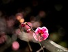 luminating (Dr.Zhao) Tags: spring plumblossoms 梅花