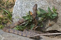 Northern Watersnake Rescue (cre8foru2009) Tags: nature ecology georgia reptile snake pollution piedmontpark northernwatersnake nerodia herping reptilesandamphibians enovironment