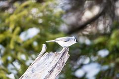 quabbinwinter2016-387 (gtxjimmy) Tags: winter bird mouse nikon tit massachusetts newengland reservoir tufted quabbin tamron songbird quabbinreservoir d600 watersupply nikond600 150600mm