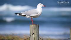 _DSC5352 (dawnbordin) Tags: sea hot bird beach birds head seagull gulls watch flight chips hungry lennox