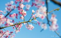 20160209-DSC00126 (sigma9988) Tags: cherry 50mm blossom bokeh sakura f18   oreston  gorlitz meyeroptik