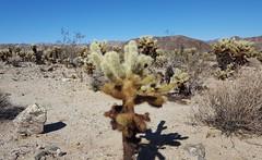 The Cholla Cactus Garden