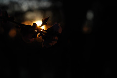 plumSunDark_20160213_2 (faeparsons) Tags: flowers blossoms plumblossoms