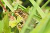 (Willy Kestemont) Tags: natuur groenekikker amfibieen