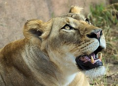 Looking Up (greekgal.esm) Tags: santabarbara feline sony lion bigcat sbzoo a77 africanlion santabarbarazoo sal70300g lionawarenessday sensationalseven
