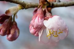 tsubakikanzakura_dsc_2838 (takao-bw) Tags: plant flower japan spring  sakura cherryblossoms