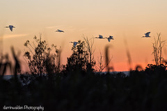 The Nightly Commute Home (darrinwalden Photography) Tags: sunset colour birds wings wildlife flight ibis