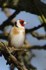 IMGP2426 Goldfinch), The Lodge, Sandy, March 2016 (bobchappell55) Tags: wild bird nature wildlife goldfinch sandy reserve thelodge rspb