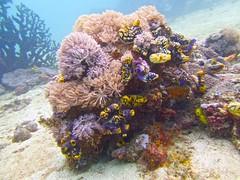 Coral Garden (someofmypics) Tags: vacation philippines bikini manila scubadiving wickedweasel ikelite panasonictz60