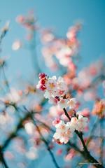 DSC00057 (sigma9988) Tags: cherry 50mm blossom bokeh sakura f18   oreston  gorlitz meyeroptik