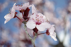 Flowering prunus (My Wave Pics) Tags: pink white plant flower detail macro tree nature floral beautiful beauty closeup season cherry outdoors leaf spring stem flora colorful branch natural blossom background fresh petal bloom bud delicate ornamental isolated blooming prunus