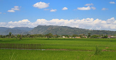 (Carol Mitchell) Tags: indonesia farming crops agriculture ricefields sawah padifields yogyakartasolo