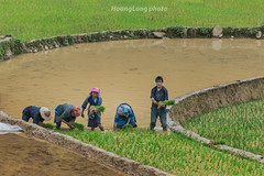 K9395.0611.La Pn Tn.M Cang Chi.Yn Bi. (hoanglongphoto) Tags: life people canon asian asia outdoor terraces vietnam dailylife farmhand ynbi agriculturalist vietnamlife sowingseason cucsng ithng grouppeople hmongpeople tybc canoneos1dsmarkiii conngi growingrice chu vietnamnorth ngnam nngdn cyla rungbcthang lapntn mcangchi ngihmng canonef70200mmf28lisiiusm cucsnghngngy nc macy vietnamdailylife transplantingseason vietnamterraces nhmngi rungbcthangvitnam cucsngmcangchi cucsngynbi vietnamnorthlife