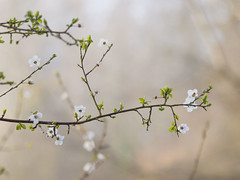 Le début *---- --° (Titole) Tags: mist spring branch branche bloomingtree challengeyouwinner friendlychallenges titole perpetualchallenge nicolefaton