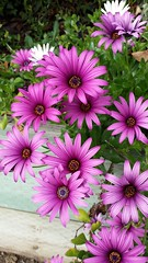 African Daisies (waddling-penguin) Tags: pink flower leaves purple daisy africandaisy springflower