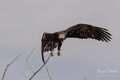 Juvenile Bald Eagle struggles to land - 13 of 27