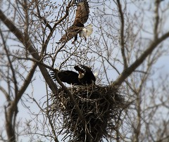 Battle in the sky (markfesh) Tags: fight eagle bald marsh nesting magee