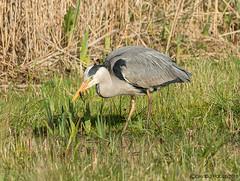 Heron with Newt (Crazybittern1) Tags: heron birds rspb leightonmoss nikond7100 nikon200500f56