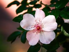 Charlatan Rose_MG_0158 (918monty) Tags: floral rose botanical dallas texas blossom rosepetals springtime dallasarboretum dallasblooms climbingrose trailingrose delicatepink madaboutflowers charlatanclimbingrose