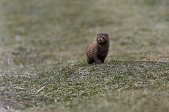 Vison d'Amrique / Mink (Roy Yves) Tags: vison mink yvesroy