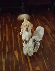 Ginger y Roni (Santiago Stucchi Portocarrero) Tags: dog chien cane ginger can perro roni santiagostucchiportocarrero