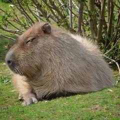 Capybara (c.silver14) Tags: rodent nikon capybara