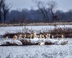 American White Pelicans (wplynn) Tags: white bird pelicans birds indiana american area linton goosepond pelecanus fishandwildlife erythrorhynchos