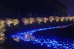 20160305-DSC_2286.jpg (d3_plus) Tags: street sea sky plant flower nature japan spring nikon scenery nightshot cloudy bloom  cherryblossom  sakura lightup nightview 28105mmf3545d nikkor    shizuoka    izu   28105   rapeblossom    28105mm  zoomlense  minamiizu    kawazuzakura    28105mmf3545 d700 281053545  nikond700 shimokamo aiafzoomnikkor28105mmf3545d nightcherryblossom 28105mmf3545af    southcherryblossomandrapeblossomfestival aiafnikkor28105mmf3545d shootingstarsandsakurainnight sakurainnight