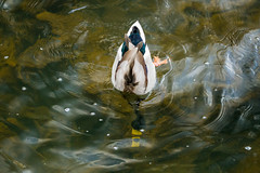 The polarized duck... (Wessel...) Tags: netherlands canon duck spring rotterdam nederland vogels lente eend kralingen kralingseplas