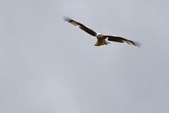 Milan royal - Milvus milvus - Red Kite (olivier teilhard) Tags: france milan nature vercors libre oiseaux sauvage milvusmilvus drme rhnealpes diois milanroyal oiseauenvol sigma150600 canon7dmarkii olivierteilhard