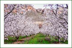 Entre almendros (kirru11) Tags: rboles cielo campo quel roca pea almendros larioja hierva kirru11 anaechebarria